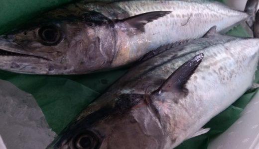 【愛媛釣果情報】 伊予市、松前周辺でサゴシが・・・