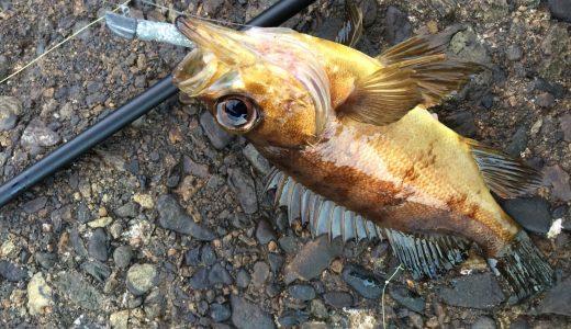 【愛媛釣果情報】伊予市、松山周辺でメバルが釣れてますよ!