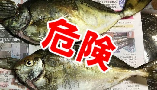 毒針魚アイゴを刺身と煮魚で食ってみた!