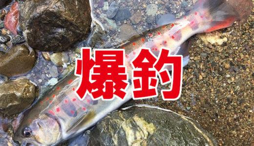 禁漁前アマゴが入れ食い!【愛媛釣果情報】