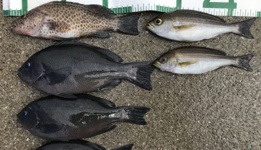 【カゴ釣り】愛南町でグレとイサキ【愛媛釣果情報】